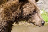 Wild Bear Cooling In Water