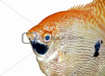 Angel fish closeup isolated on white