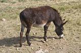 Donkey grazing.