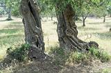 Typical apulian olive-trees.