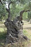 Typical apulian olive-tree.
