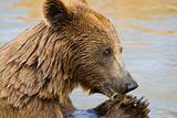 Bear Feeding