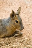 Patagonian Hare Portrait