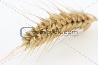 Single wheat spike