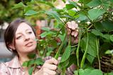 A woman picking runner beans