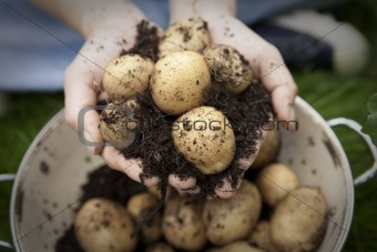 A handful of new potatoes in colander