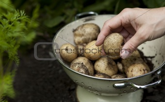 Potatoes just dug and in a colander