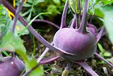 Large purple kohlrabi