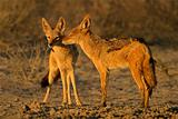 Black-backed Jackals