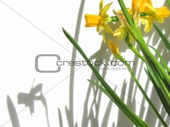 Daffodils and shadows