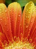 droplets on gerbera