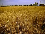 wheat fields