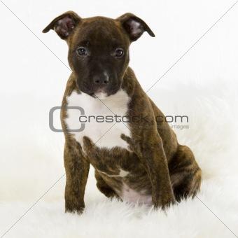 american stafford puppy