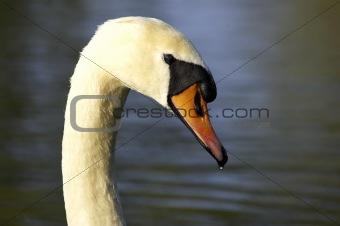 Single swans head