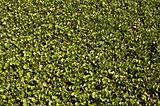 Carpet of water hyacinth