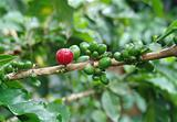 Coffee beans red and green
