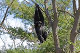 siamang gibbon 3