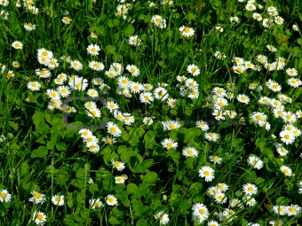 Close up shoot of daisy field