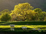 Welsh Sheep Landscape