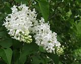 Fiala Remembrance Lilac