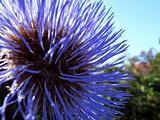 Thistle Flower 5