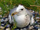 The seagull has a rest on a beach in seaweed