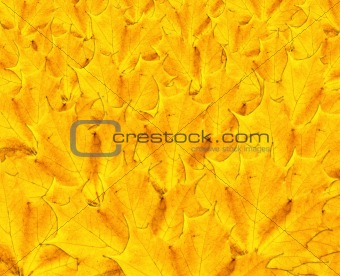 Autumn maple leaf background