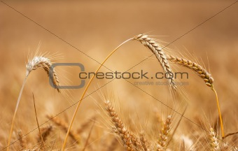 Golden wheat field before harvest