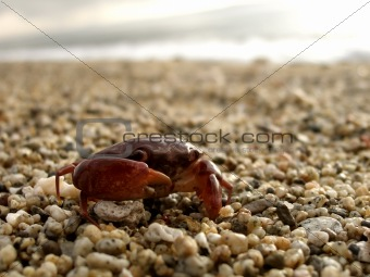 Close up shot of red crab on pebbled shore
