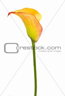 arum isolated over white