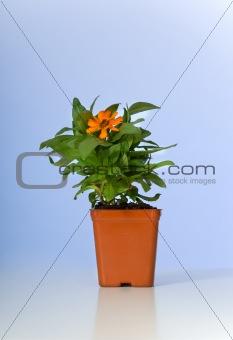 Small Plant, zinnia