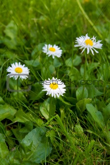 camomile, ox-eye daisy