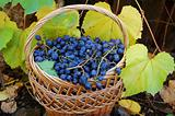 Woven basket with grapes and grapevine with yellow leaves