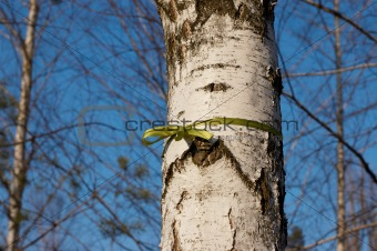 Green ribbon tied in a bow in birch