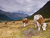 Cows on the alpine field