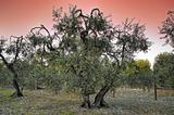 Olive-trees at sunset.