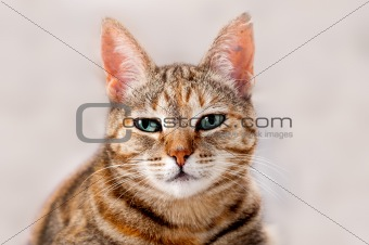 Alert Tabby Cat