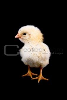 Baby Chicken on Black