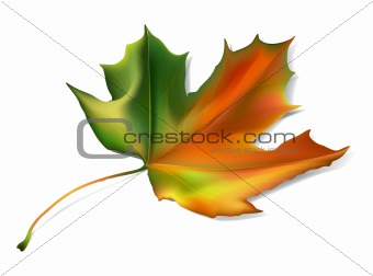 Autumn vector maple leaf