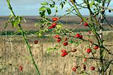 Rose hip