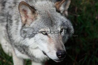 Gray Wolf Close-Up