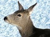 Mule deer female close up