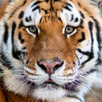 Tigers face