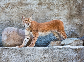 The Lynx against a concrete wall