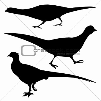 silhouette of the pheasant on white background