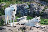 Family of Arctic Wolves