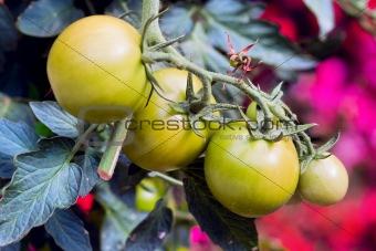 a green tomatos in a garden