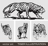 Set of different tiger. Vector.