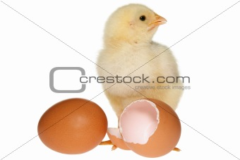 Baby Chicken & Eggs