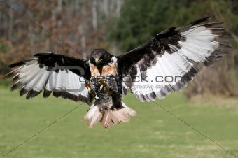 Jackal Buzzard Bird in Flight